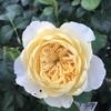 バラの夏対策 梅雨が終わったら、鉢増しの検討の理由と方法