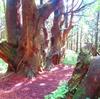 No:057【山形県】巨木の聳える超穴場「幻想の森」!!屋久島のような神秘さに癒された!