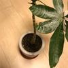 【100均観葉植物】ダイソーの実生パキラも冬眠の時期。室内へ移動したよ(成長記録)