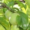 二十四節気七十二候 「芒種 梅子黄」(2017/6/16)