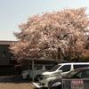 桜もあと少し Part 2