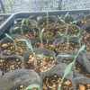 トマトのツイン苗作りと挿し芽