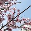 桜満開や~
