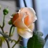 開花一番はアンブリッジ・ローズ