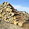 50年で26%減、三大美林の青森ヒバ林復元へ