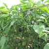 鳥飼茄子の魅力