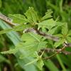 【どんぐりの木の5月】 虫に喰われたミズナラの葉