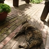 外猫シャコちゃんの日向ぼっこ🐈
