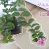 サルスベリのミニ盆栽を育てています!