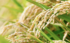 Amazonでお米を買うのはとてもお得!最強おすすめ商品11選