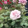 #46 薔薇と茶道で和洋折衷🌹🍵