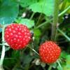 山村の恵み「野イチゴ」甘くて最高です。