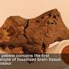 恐竜の脳味噌の化石/Fossilised dinosaur brains