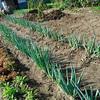 長ねぎが長雨のせいで田んぼの稲状態 何とかせねば2