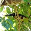 ベリーズ 庭木に来た Collared Aracari (カラード アラカリ)