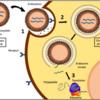 新型コロナウイルスRNAワクチン:ファイザー BNT162b2