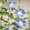 2-121   愛すべき花たち〜2017年朝顔の花全盛期〜