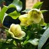 ● 庭に春を知らせてくれる花々が咲いて来ました