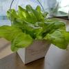 【栽培キットでプチ家庭菜園】ホウレンソウがトウ立ち!レタスはそろそろ収穫時期♪