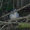 早朝探鳥、善福寺公園で水辺の鳥と茶番!?/2020-11-07