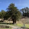 樹齢2,000年を超える巨木を見た。