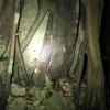 リュウキュウアブラゼミの羽化