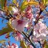 桜の開花状況【新城さくらまつり】