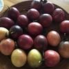 【パッションフルーツ栽培】たくさん収穫するための育て方
