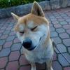 柴犬ペコが魚を発見したときのおもしろ反応