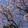 3-340   早咲き桜があっという間に満開に!!!