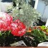 ゼラニウムが花開きました。