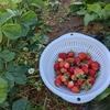 イチゴは土に接しているところが腐る!いちご救出作戦!