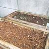 秋の野菜をプランターで育てる(ルッコラ)