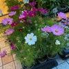 「宇宙を自分のものにしてみたいと思いませんか?」これはコスモス栽培を勧める記事の書き出し.美しい舌状花はギリシャ語のkosmosと結びつけられたようです.日本には明治に渡来.それ以降,秋を代表する草花の一つに.Cosmos bipinnatuには沢山の園芸種が生み出され,同属のキバナコスモス,チョコレートコスモスともども,わたしたちを楽しませてくれます.キク亜科の中では,ダリヤとともに,ハルシャギク連に分類されます.