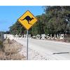 【オーストラリア】カンガルー大国オーストラリアで見る、野生カンガルーのかわいらしい姿。