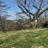 21/03/23 横須賀・塚山公園の芝生広場にて