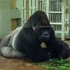 【京都市動物園】ゴリラの吐息 ー ブログ