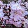 【長野県大町市】4月8日朝、「雪桜」が見れました。