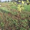野菜も緑肥も順調ですね