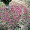 山茶花の花びら