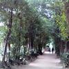 備瀬のフクギ並木。沖縄本島北部のおすすめ癒しスポットです。