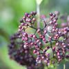 冬の紫:オオムラサキシキブ