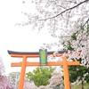 平野神社の桜2021。見頃や開花状況。ライトアップあり。