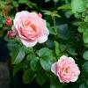 ER 、S は気温が下がった分大きくきれいな花を付けます