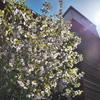 母の日 満開の桜