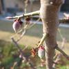 梅の実育ち中