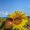 Sunflower ♪