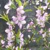 桜かと思ったら梅だった! 我が家の驚愕の庭事情に迫る!