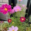 たくさん開花してきたよ!