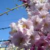 鉄条網の桜、流れる